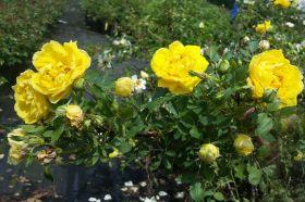 Rosa 'Harison's Yellow'