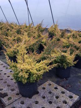 Juniperus chinensis 'Goldfern'