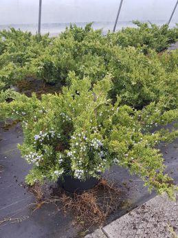 Juniperus chinensis 'Parsonsii'
