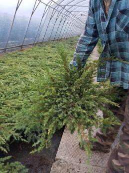Juniperus conferta 'Schlager'