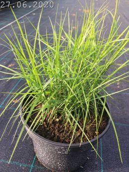 Carex muskingumensis 'Little Midge'