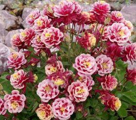 Aquilegia vulgaris 'Winky Double Red&White'