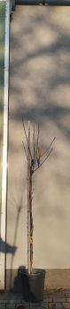 Prunus avium BURLAT