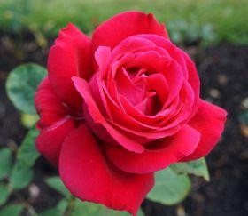 Rosa 'Hanne'