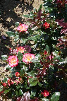 Rosa 'Melicolors'®