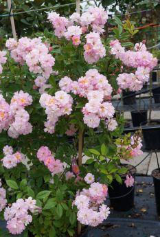 Rosa 'Parfum d'Evita'