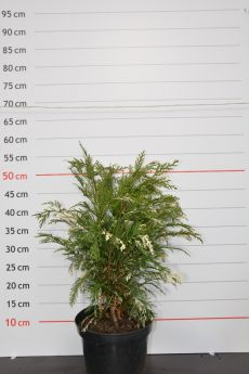 Chamaecyparis lawsoniana 'Argenteovariegata'