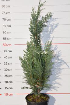Chamaecyparis lawsoniana 'Grayswood Pillar'