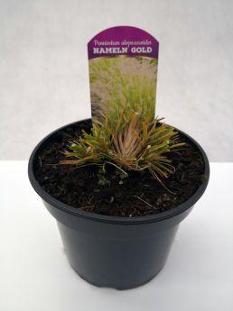 Pennisetum alopecuroides 'Hameln Gold'