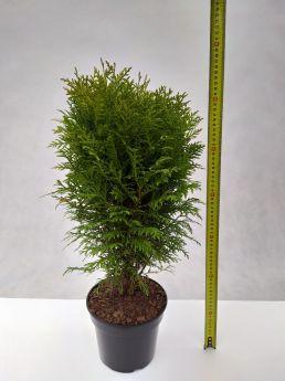 Thuja occidentalis 'Danica'