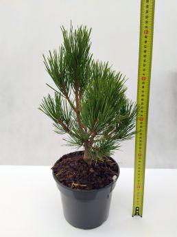 Pinus densiflora 'Globe'