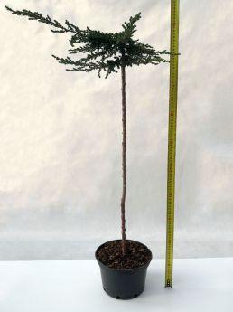 Juniperus communis 'Zeal'
