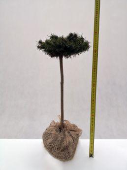 Pinus mugo 'Paradekissen'