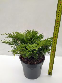 Juniperus ×pfitzeriana 'Old Gold'