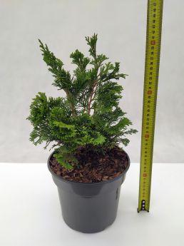 Chamaecyparis obtusa 'Gracilis'