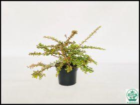 Berberis thunbergii 'Green Carpet'