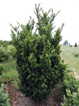 Taxus ×media 'Hillii'