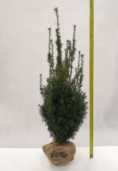 Taxus ×media 'Hicksii'