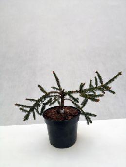 Picea abies 'Inversa'