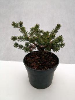 Pinus banksiana 'Arctis'