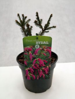 Picea abies 'Rydal'