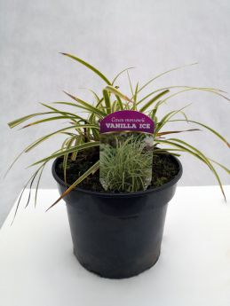 Carex morrowi 'Vanilla Ice'