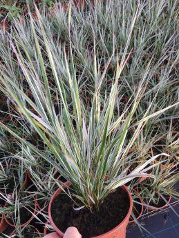 Calamagrostis ×acutiflora 'Overdam'