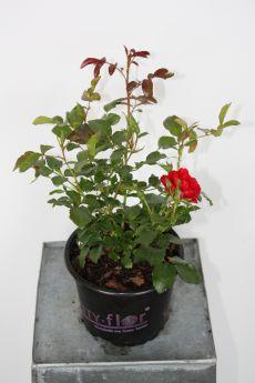 Rosa 'Matador'®