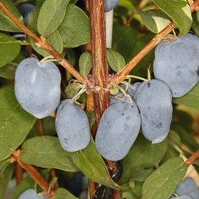 Lonicera caerulea var. kamtschatica 'Boreal Beauty'