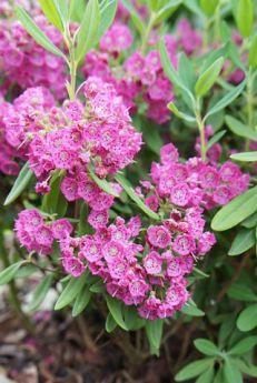 Kalmia angustifolia 'Gnom'