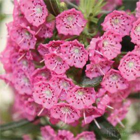 Kalmia angustifolia 'Rubra'