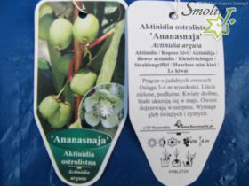 Actinidia arguta 'Ananasnaya'