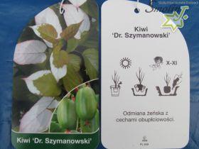Actinidia kolomikta 'Dr Szymanowski'