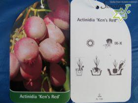 Actinidia arguta 'Ken's Red'