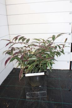 Leucothoe fontenesiana 'Whitewater'