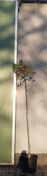Betula pendula 'Magical Globe'