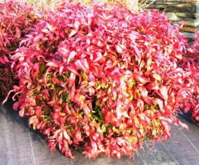 Nandina domestica 'Fire Power'