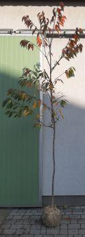 Prunus serrulata 'Pink Perfection'