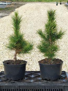 Pinus sibirica