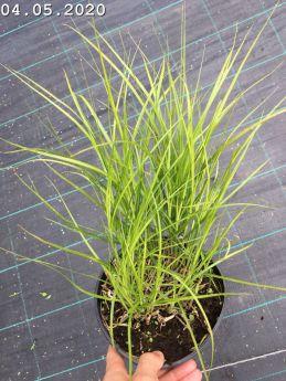 Carex muskingumensis 'Aureovariegata'