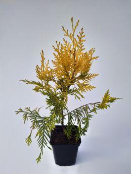 Thuja occidentalis 'Aurescens'